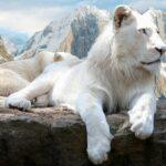 Fehér oroszlán